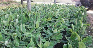 CEDEVA prevé entregar 120 mil plantas de banano durante la actual campaña
